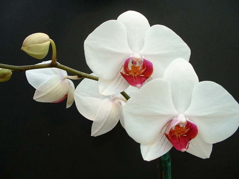orchid-2-1567827-小